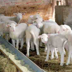 Bárány hízlalás